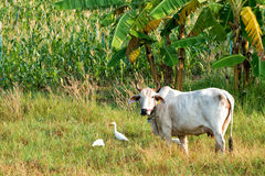 Thai cow and cattle egrets Royalty Free Stock Image