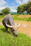 Thai cow eating fresh grass near river with mountain view behind Stock Images