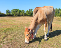Thai cow eating grass in the field with blue sky Royalty Free Stock Photo