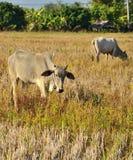 Thai cow eating grass Royalty Free Stock Photo