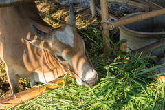 Thai cow eating grass Royalty Free Stock Image