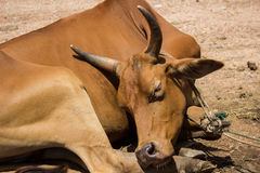 Thai cow in a farm Royalty Free Stock Photography