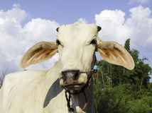 Thai cow Royalty Free Stock Photography