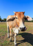 Thai cow in the field with blue sky. Background stock image