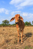 Thai cow in the field with blue sky. Background stock images