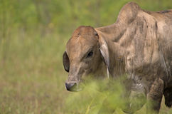 Thai Cow in field Stock Images