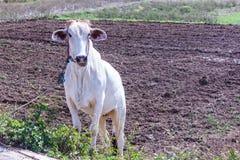 Thai cow in field, mammal farm Stock Photo