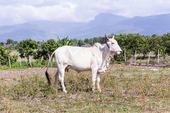Thai cow in field, mammal farm Royalty Free Stock Photos