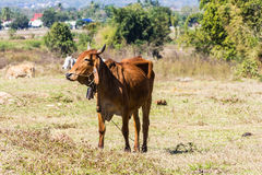 Thai cow in field Royalty Free Stock Photography