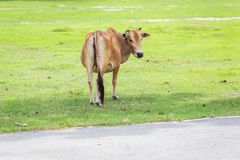 Thai cow on green royalty free stock photography
