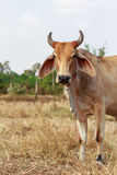 Thai cow standing in the field. Thai cow standing alone in the field royalty free stock photography