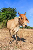 Thai cow standing in the field with blue sky. Background stock photos