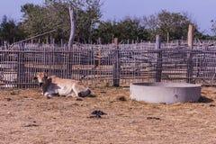 Thai cows in farm Stock Photos