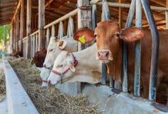 Thai cows feeding hay in the farm Stock Photo