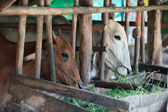 Thai cows feeding hay in the farm Royalty Free Stock Images