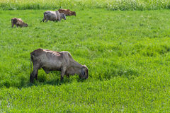 Thai cows graze. Thai cows grazing in grassland royalty free stock photo