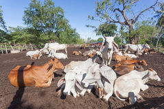 Thai cows resting in a field at southern ,Thailand Stock Photography