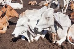 Thai cows resting in a field at southern ,Thailand Royalty Free Stock Photo