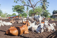 Thai cows resting in a field at southern ,Thailand Stock Images
