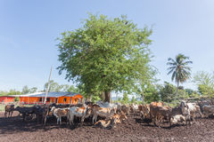 Thai cows resting in a field under tree at southern ,Thailand Stock Photos