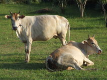 Thai cows, Thailand. Cows resting in the hot sun, Issan, Thailand Stock Photo