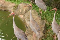 Thai Cranes. In the garden Stock Image