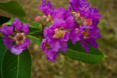 Thai crape myrtle. Violet flower with green leaf this flower also known as kedah bungor stock photo