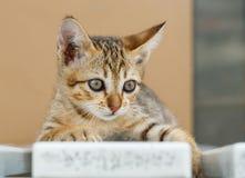 Thai cute kitten Stock Photos
