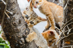 Thai cute naughty cat Royalty Free Stock Photography