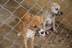 Thai cute puppy dog in cage waiting adopt to new home Royalty Free Stock Image