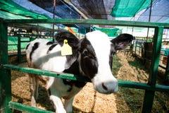 Milk cows, Thai Dairy cows in khonkaen farm,Thailand. Thai Dairy cows in khonkaen farm,Thailand stock photos