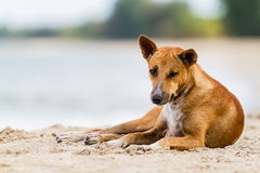 Thai dog on the beach Stock Photos