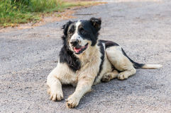 Thai dog black and white color Royalty Free Stock Photo