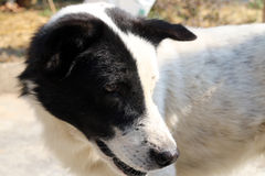 Thai Dog With Black and White Colors.  Black and White Dog Royalty Free Stock Photo
