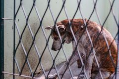 Thai dog in cage. For pet and rabies surveillance in summer concept Royalty Free Stock Images