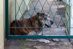 Thai dog in cage. For pet and rabies surveillance in summer concept Stock Photo