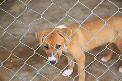 Thai dog in cage waiting adopt to new home Royalty Free Stock Photos