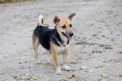 Thai dog. Cute thai dog standing on ground in house royalty free stock photo