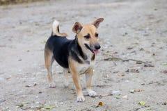 Thai dog Royalty Free Stock Photo