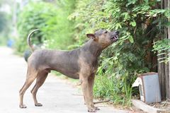 Thai Dog. Dogs that are Thai are one of them. Behind the saddle. Actually there are dogs that look similar. But behind Thailand, our saddle is characterized by stock photo