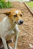 Thai dog is friendly Stock Photo