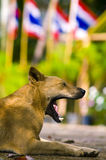 Thai dog gape. In nature outdoor Royalty Free Stock Photography