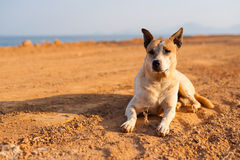 Thai dog Stock Images