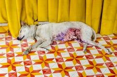 Thai dog lay down on street Stock Image