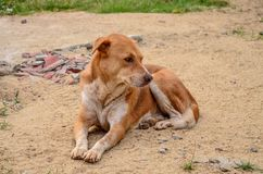Thai dog lay down in temple Stock Photography