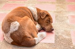Thai dog lay down in temple Royalty Free Stock Photo