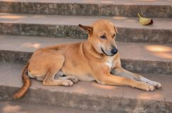 Thai dog lay down in temple Royalty Free Stock Photos