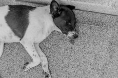 Thai dog lay down in temple Stock Images