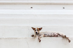 Thai Dog Look. Thai a lazy dog Look Stock Images