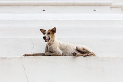 Thai Dog Look. Thai a lazy dog Look Royalty Free Stock Image